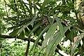 Socratea exorrhiza 16zz.jpg
