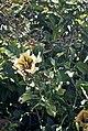 Solandra maxima-2177.jpg