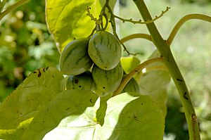 Tamarillo - Unripe fruits