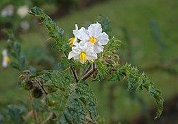 Solanum heterodoxum B