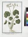 Soldanella Alpina, rotundo folio - Soldanella - Soldaneille. (Alpine Snow Bells) (NYPL b14444147-1124944).tiff