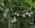 Sonjna (Moringa oleifera) at Jayanti, Duars, West Bengal W IMG 5249.jpg