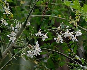 Moringa oleifera - Wikipedia