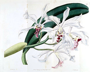 <i>Cattleya crispa</i> species of plant
