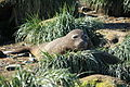 Southern Elephant Seal amid Tussock Grass (5890874379).jpg