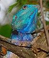 Southern Tree Agama (Acanthocercus atricollis) male (32629575144).jpg