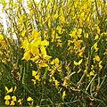 Spartium junceum Colmenar Viejo 1.jpg
