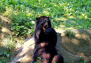 Spectacled Bear 161 (6).jpg