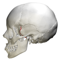 Sphenosquamosal suture - skull - lateral view01.png