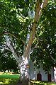 Spomenik prirode Platan u Sremskim Karlovcima.jpg
