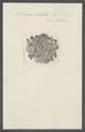 Spongia bullata - - Print - Iconographia Zoologica - Special Collections University of Amsterdam - UBAINV0274 112 02 0060.tif