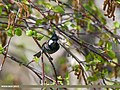 Spot-winged Tit (Periparus melanolophus) (34906742551).jpg