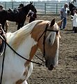 Spotted Saddle Horse head1.jpg