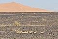 Spotted Sandgrouse (4804568378).jpg