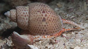 Muricoidea - Image: Spotted babylon 6