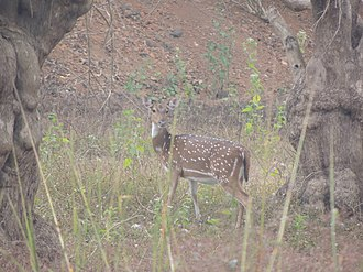 Ballabhpur Wildlife Sanctuary - spotted deer