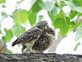 Spotted owlet in romantic mood @ Yawal Wildlife Sanctuary.jpg