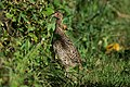 Spruce grouse female or immature male IV avalon 9 23 (14290856434).jpg