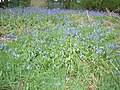Squire Anderton's Wood - carpet of bluebells - geograph.org.uk - 151547.jpg