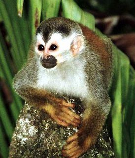 Central American squirrel monkey species of mammal