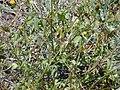 Starr-030424-0109-Bidens pilosa-habit-Puu o Kali-Maui (24003289144).jpg