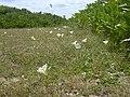 Starr-040711-0406-Ipomoea imperati-habit-Mokuleia-Oahu (24346595249).jpg