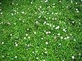 Starr-050815-3381-Erigeron karvinskianus-flowers-Pohakuokala Gulch-Maui (24505678270).jpg