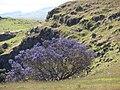 Starr-090514-7783-Jacaranda mimosifolia-flowering habit-Kula-Maui (24324570344).jpg