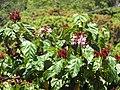 Starr-090610-0568-Bixa orellana-leaves flowers and fruit-Haiku-Maui (24870621081).jpg