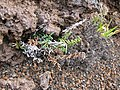 Starr-100713-3239-Pellaea ternifolia-drying up from drought-Silversword Loop Haleakala National Park-Maui (24950139731).jpg