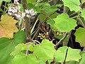 Starr-110307-2561-Roldana petasitis-flowers and leaves-Kula Botanical Garden-Maui (24447647484).jpg