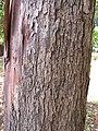 Starr-120510-5676-Lophostemon confertus-bark-Ka Hale Olinda-Maui (24511720044).jpg