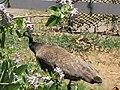 Starr-120513-5862-Calotropis gigantea-habit and peafowl Pavo cristatus-Waihee Coastal Preserve-Maui (24775000839).jpg