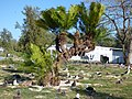 Starr-150326-0102-Cycas circinalis-habit-Chugach HQ Sand Island-Midway Atoll (25173287121).jpg