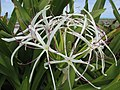 Starr-150403-1466-Crinum asiaticum-flowers-Near Pier Eastern Island-Midway Atoll (24651015333).jpg