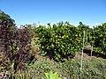 Starr-170923-0248-Citrus reticulata-Satsuma immature fruiting habit in home orchard-Hawea Pl Olinda-Maui - Flickr - Starr Environmental.jpg