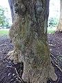 Starr-180406-0762-Terminalia arjuna-multi color trunk-DOFAW Arboretum Hilo-Hawaii (41369384871).jpg