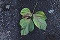 Starr-981208-2621-Pueraria montana var lobata-leaves bronzing-Hana Hwy-Maui (24156744969).jpg