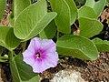 Starr 010209-0288 Ipomoea pes-caprae subsp. brasiliensis.jpg