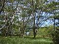 Starr 010425-0073 Falcataria moluccana.jpg
