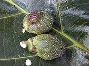 Starr 010820-0020 Ficus pseudopalma.jpg