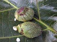 Starr 010820-0020 Ficus pseudopalma