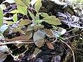 Starr 020518-0010 Cinchona pubescens.jpg