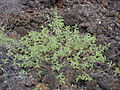 Starr 030202-0067 Waltheria indica.jpg