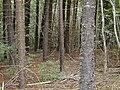 Starr 030405-0067 Araucaria columnaris.jpg