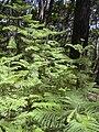 Starr 040812-0078 Araucaria columnaris.jpg