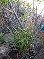 Starr 041229-2575 Cyperus hillebrandii subsp. decipiens.jpg