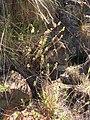Starr 050815-3326 Lythrum maritimum.jpg
