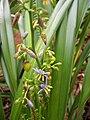 Starr 060221-6068 Dianella sandwicensis.jpg