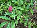Starr 060922-9057 Alpinia purpurata.jpg